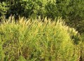 Miscanthus morninglight kyde