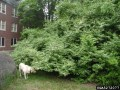 Amur Honeysuckle Dog