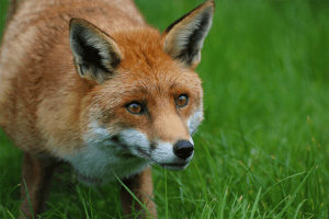 Fox - Chris Parker2012/Flickr