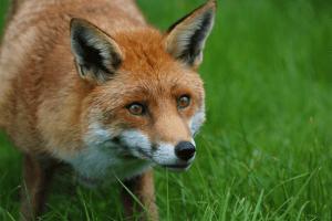 Fox - Chris Parker2012/Flickr
