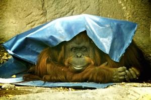 Sandra the Orangutan (Photo by Roger Schultz/Flickr)