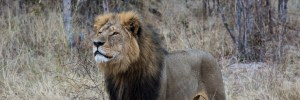 Cecil the lion Photo by Vince O'Sullivan (Creative Commons 2.0)