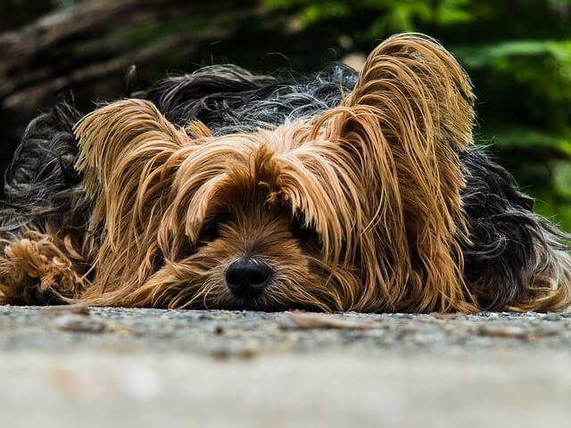 Εχασε τη γυαλάδα του το τρίχωμα του σκύλου;