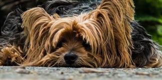 Για να διατηρήσει τη γυαλάδα του το τρίχωμα του σκύλου