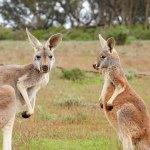 kangaroos-1563624_640-2