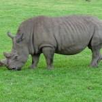 rhino-2632920_640-2