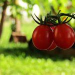 Ντομάτες χωρίς αφίδες και σκόρο
