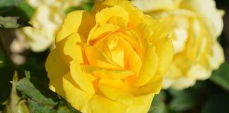 Κόλπα για όμορφες τριανταφυλλιές