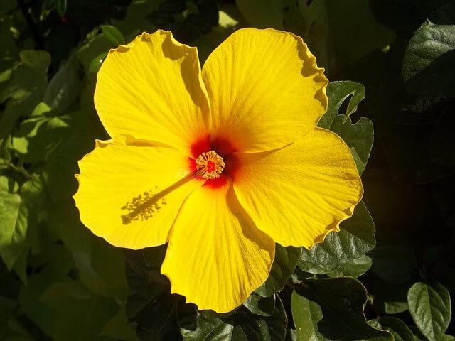 Ιβίσκος σινικός – ένα υπέροχο φυτό