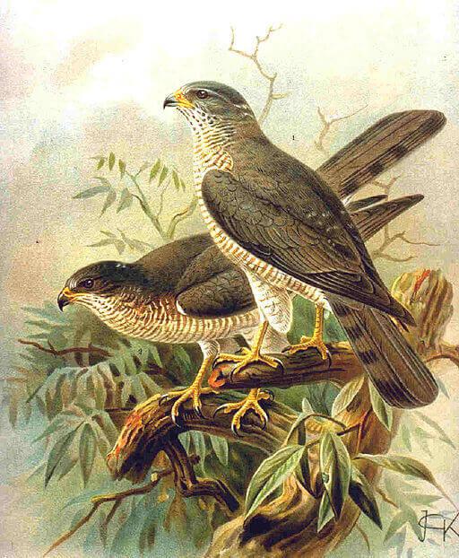 Σαΐνι – λίγα και ενδιαφέροντα γι' αυτό το σπάνιο είδος πουλιού
