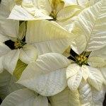 white-poinsettia-18100_640 (1)
