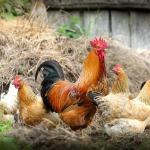 Πρόσθετες ουσίες κοτόπουλου
