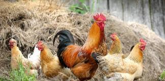 Ποιες οι πρόσθετες ουσίες κοτόπουλου;