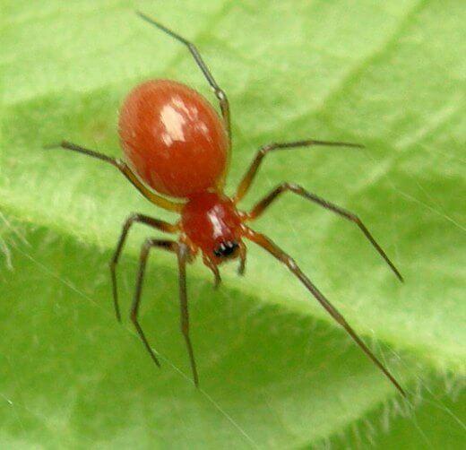 Για την κόκκινη αράχνη