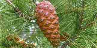 κοινό πεύκο - pinus halepensis