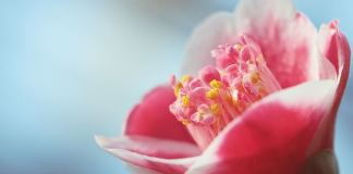 Camellia japonica - Καμέλια