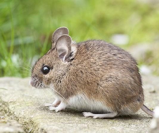 Απωθήστε ποντίκια σε αποθήκη και γκαράζ