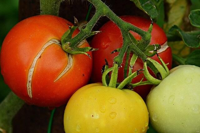 Για να μην 'ανοίγουν' οι ντομάτες που φυτέψατε