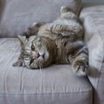 Πως θα καθαρίσεις τις τρίχες της γάτας