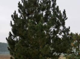 Ρόμπολο -Pinus heidreichii