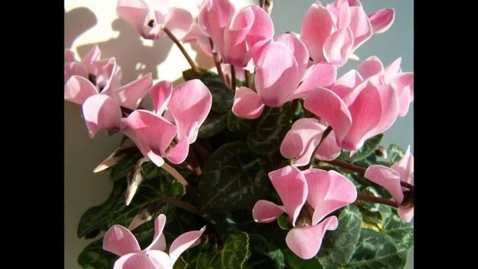Κυκλάμινο, ένα φυτό που αγαπάμε