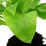 Για να καθαρίσουν καλά τα φύλλα στα φυτά εσωτερικού χώρου