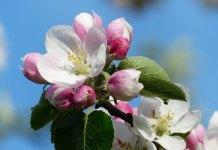 Μηλιές ανθισμένες - ότι πιο όμορφο