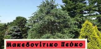 Λίγα για το Μακεδονίτικο Πεύκο