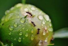 Μυρμήγκια στη σφηκοφωλιά