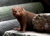 Randers Regnskov: A dwarf mongoose (Helogale parvula)t