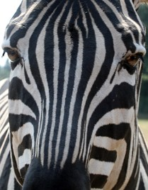 Zebra visiting us close up to the car
