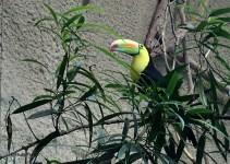 Keel billed toucan (Ramphastos sulfuratus)