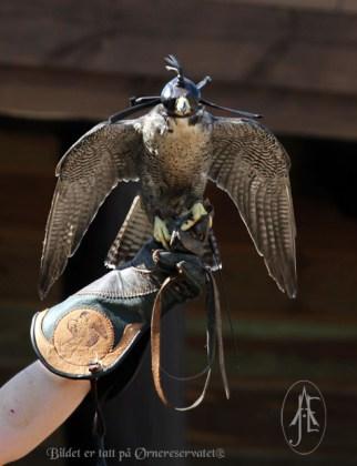 Peregrin (Falco peregrinus)