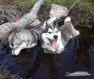 the dogs Såga and Orca cooling off in a small pond