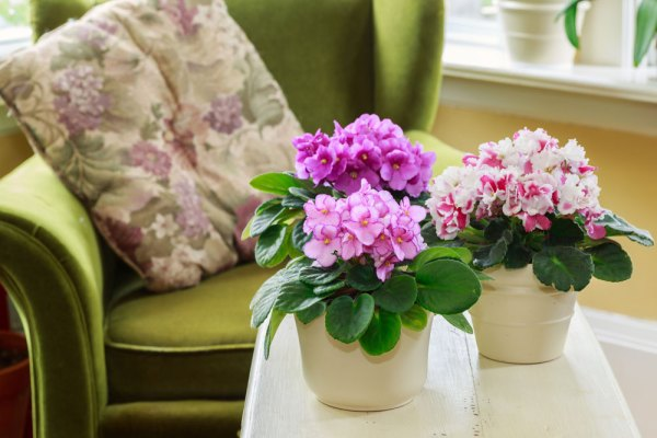 African violets in pots on a table