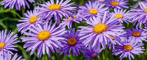 Purple blooming perennial asters