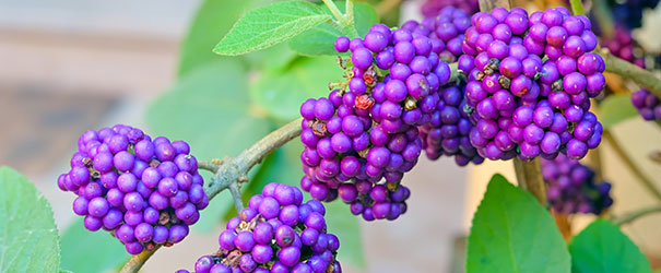 The lovely fall berries on Beautyberry bush