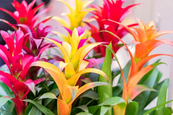 Red, yellow, and orange bromeliads