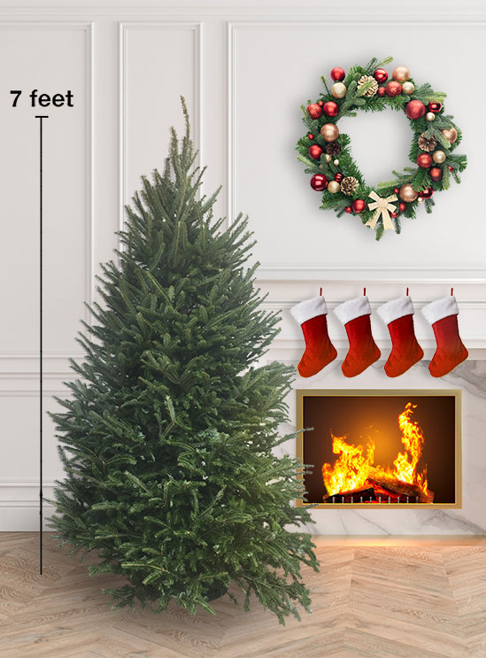 An example of the fresh cut Christmas trees available at Meadows Farms.
