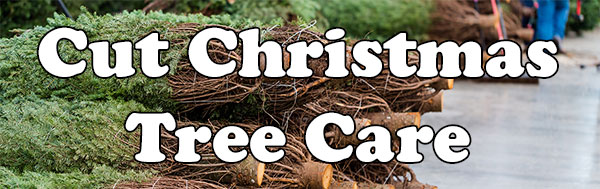 Cut Christmas Tree Care