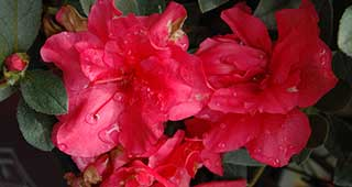 Autumn Rouge Encore Azalea