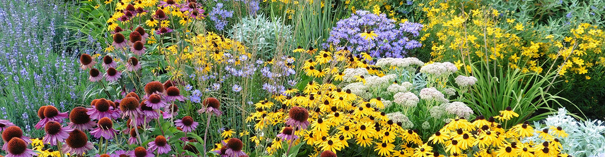 A field of summer and fall-blooming perennials
