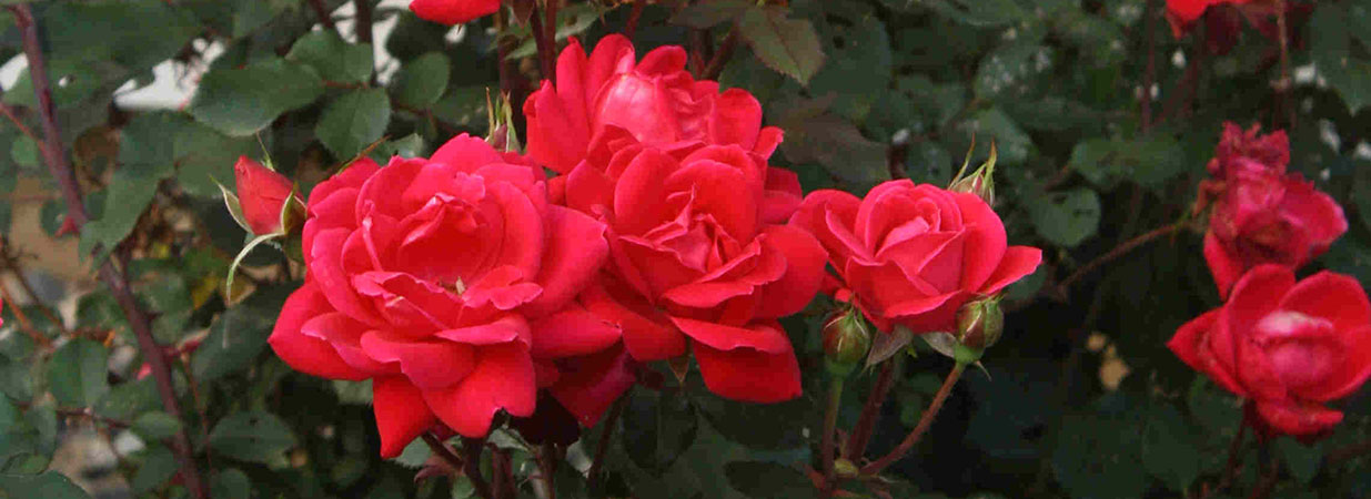 Blooms on a double red Knockout rose