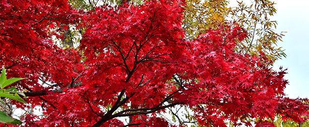 The stunning red-colored fall leaves of a Japanese maple