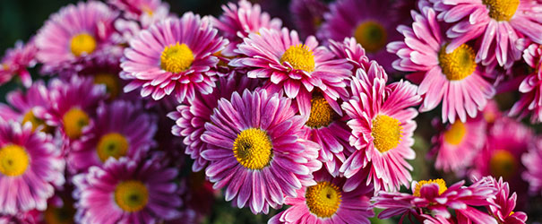 Purple chrysanthemum blooms with a yellow center
