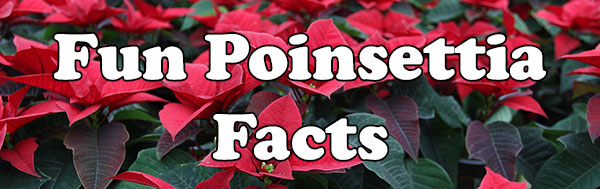 Fun Poinsettia Facts