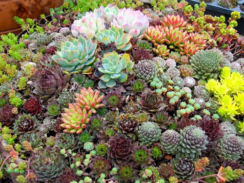 Succulents Meadows Farms