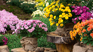 A collection of various flowering mums