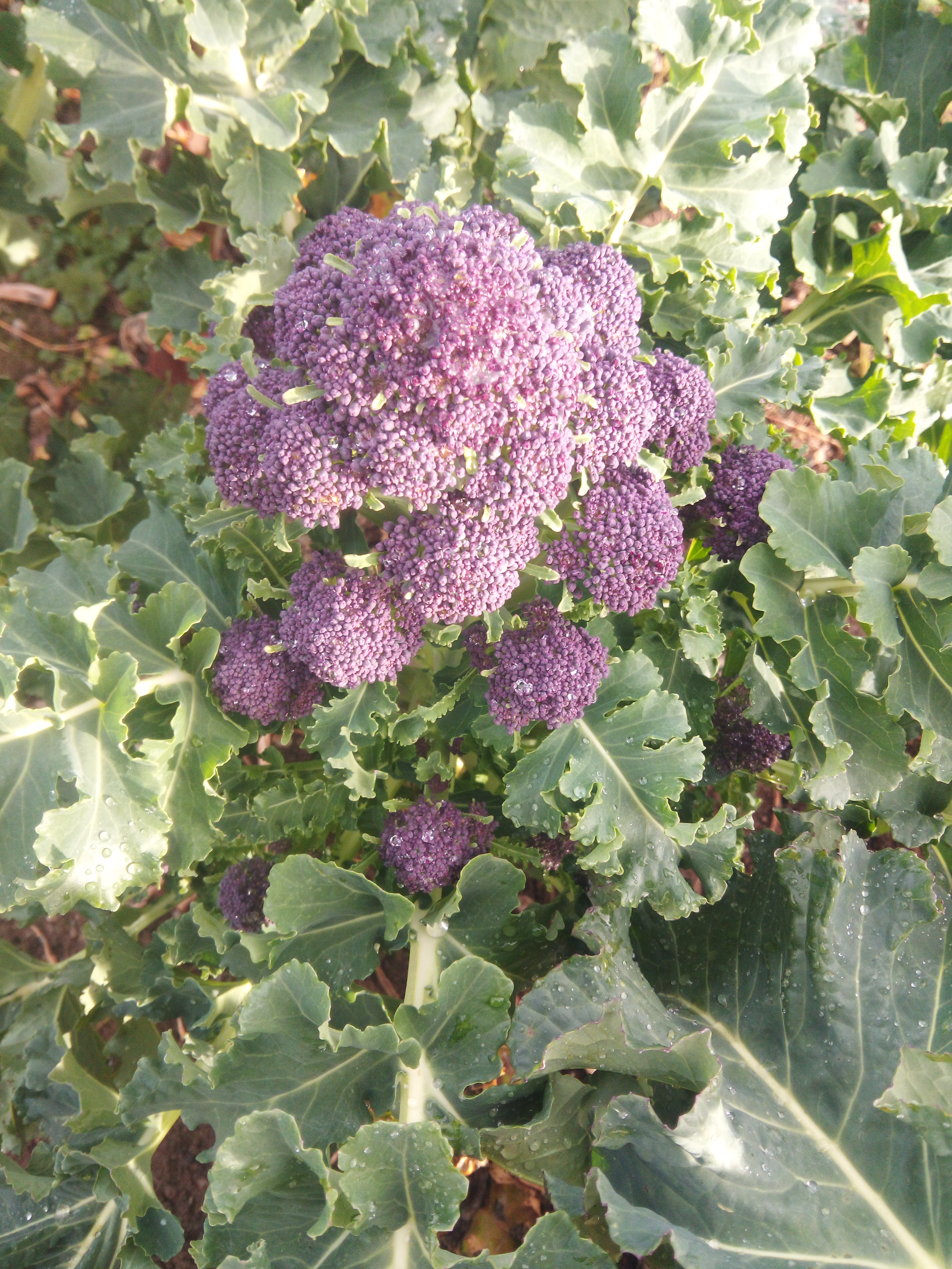 purple sprouting plant