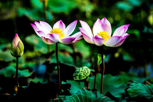 Lotusbluete 2